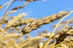 麦子,宏指令的成熟耳朵在领域的 免版税库存照片