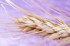 麦子,特写镜头,抽象背景的成熟小尖峰在桃红色背景的 免版税库存照片