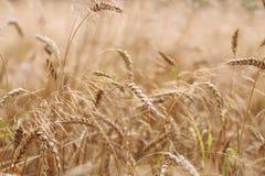 麦子,软的焦点,特写镜头,农业背景的有机金黄成熟耳朵在领域的 免版税库存图片