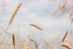 麦子,软的焦点,特写镜头,农业背景的有机金黄成熟耳朵在领域的 免版税图库摄影