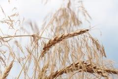 麦子,软的焦点,特写镜头,农业背景的有机金黄成熟耳朵在领域的 免版税库存照片