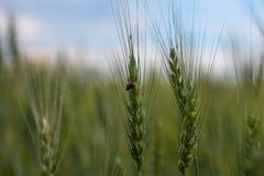 麦子,麦子的耳朵 免版税库存图片