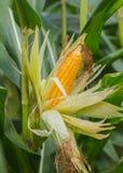麦子,麦子,牛排,玉米 免版税库存照片