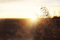 麦子/五谷在大草原日落透镜飘动 免版税库存图片