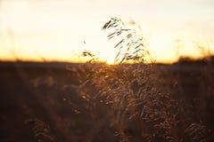 麦子/五谷在大草原日落 库存照片