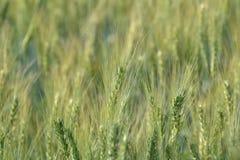 麦子(小麦属植物Sp。) 免版税库存照片