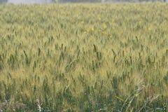 麦子(小麦属植物Sp。) 免版税图库摄影
