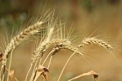 麦子 峰值 晴朗的日 库存照片