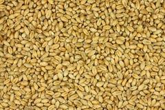 麦子细晶粒在背景的 库存图片