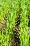 麦子绿色新芽在领域的 库存图片
