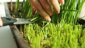 麦子绿色种子,一未加工的食物的饮食 股票视频