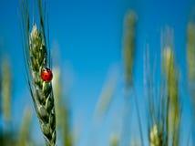 麦子绿草与瓢虫的在天空领域的被弄脏的背景 免版税库存图片