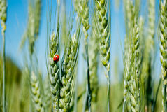 麦子绿草与瓢虫的在天空领域的被弄脏的背景 免版税库存照片
