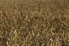 麦子 角度域草宽夏天视图 库存照片