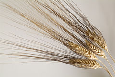 麦子 免版税图库摄影