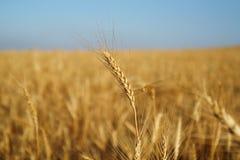 麦子 库存图片