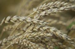 麦子头 免版税库存照片