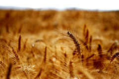 麦子 库存照片