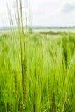 麦子头 库存照片