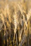 麦子 免版税库存图片