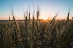 2麦子 免版税库存图片