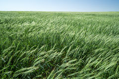10麦子 库存照片