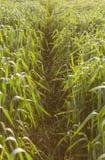 麦子iin农业领域在早期的春天 免版税库存图片