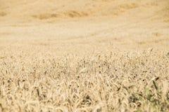 黑麦玉米的不尽的领域 免版税库存照片