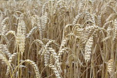麦田与麦子耳朵的 免版税库存图片