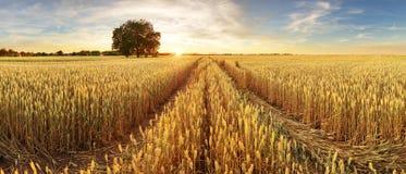 麦田全景在日落的 库存照片