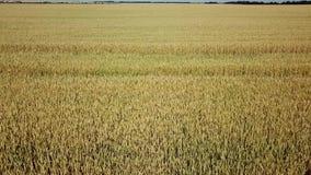 麦田和好日子,美好的自然风景 r 股票视频