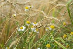 麦田和宜人地杂草,在一个领域的狂放的母菊属在一个农场每与谷物耳朵的晴朗的夏日 免版税库存照片