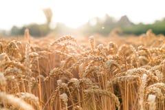 麦田在一个夏日 自然本底 晴朗的天气 农村场面和光亮的阳光 痛苦 库存照片