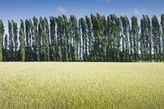 麦田在日落的与在背景的柏白杨树 库存照片