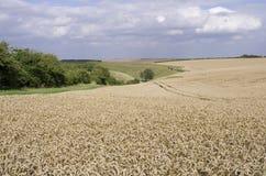 麦田在约克夏黄木樨草的 免版税库存图片