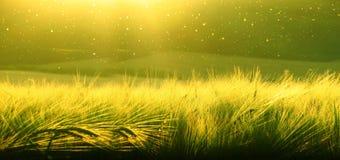 麦田成熟的大麦背景在日落天空的 Ultrawide背景 日出 照片的口气转移 免版税图库摄影