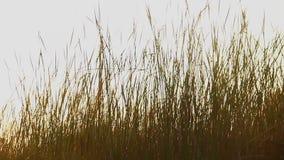 麦田或其他粮食作物 农业,收获 影视素材