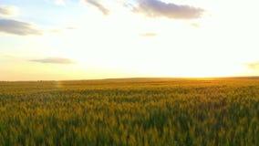 麦田的全景在日落的 股票视频