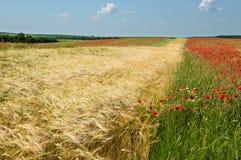 麦田的全景照片和鸦片在一个晴朗的夏日 免版税图库摄影