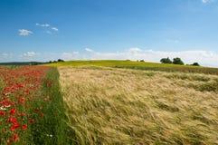麦田的全景照片和鸦片在一个晴朗的夏日 库存图片