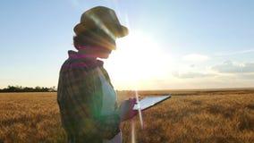 麦田的少妇农夫在日落背景 女孩采麦子钉,然后使用片剂 免版税库存图片