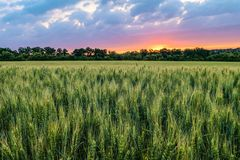 麦田的绿色成熟的耳朵在日落的多云天空下 免版税库存照片