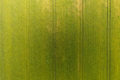 麦田纹理  年轻绿色麦子背景在f的 免版税库存照片