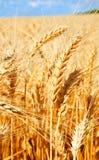 麦田背景与成熟金黄耳朵和蓝天的 免版税库存图片
