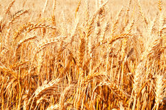 麦田背景与成熟金黄耳朵的 库存图片