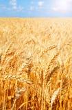 麦田背景与成熟金黄耳朵的 免版税图库摄影