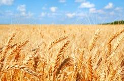 麦田背景与成熟金黄耳朵的 图库摄影