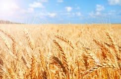 麦田背景与成熟金黄耳朵的 库存照片