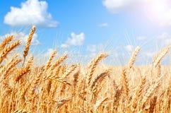 麦田背景与成熟金黄耳朵的 免版税库存图片