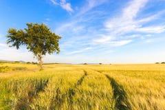 麦田跟踪、结构树和清楚的天空在春天 免版税库存图片